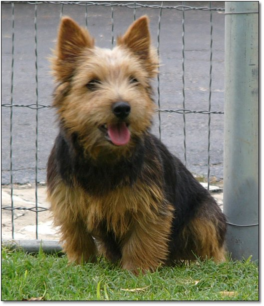 Yorkie Puppies For Sale|Artistry Yorkies